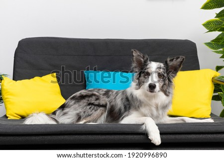 The dog lies quietly on the sofa in the living room of his house, waiting for his mistress. Intelligent Border Collie Sheepdog. Modern interior design of the apartment.