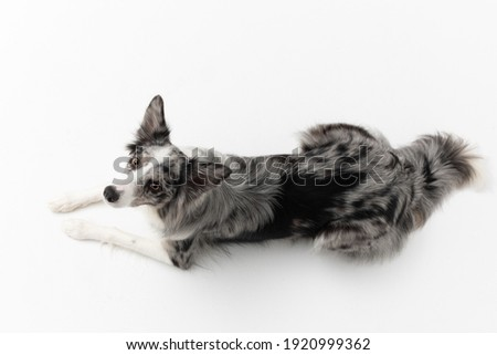 A Border Collie dog is lying on a white background. Top view. The dog is colored in shades of white and black and has long and delicate hair. An excellent herding dog. Panoramic frame. Royalty-Free Stock Photo #1920999362