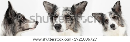 Multiple mouths of a dog carved up close in a panoramic frame. Purebred Border Collie dog in shades of white and black, and long and fine hair. An excellent herding dog. Royalty-Free Stock Photo #1921006727
