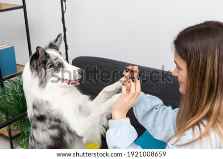 A teenage dog sitter plays a game of paws with him while sitting on the sofa at home. Intelligent Border Collie Sheepdog. Modern interior design of the apartment.