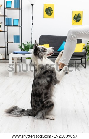 In the living room, the dog sits on the ass and holds the sitter's leg with its front legs. Intelligent Border Collie Sheepdog. Modern interior design of the apartment.