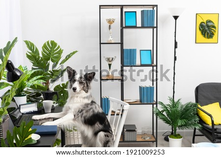 The dog sits in a chair in front of the computer in the living room. Intelligent Border Collie Sheepdog. Modern interior design of the apartment.