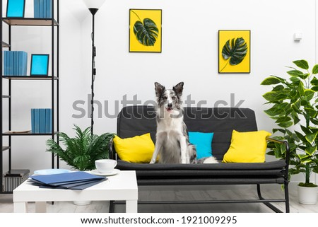A dog with protruding ears and curiosity sits on a sofa in the living room. Intelligent Border Collie Sheepdog. Modern interior design of the apartment.