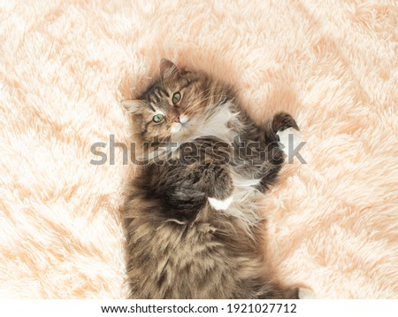 young fluffy ginger Siberian cat lying on bed looking up and relaxing, concept lovely pets, top view Royalty-Free Stock Photo #1921027712
