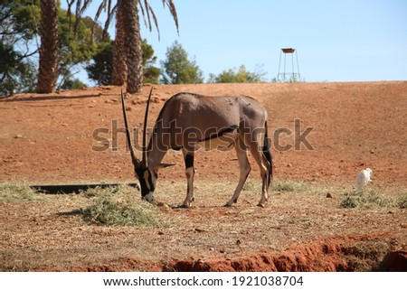 this picture of a beautiful gazelle was taken in Rabat, Morocco.