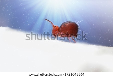 Red collembola funny runs on a white surface on a magical blue background with glowing rays and falling snow. Microlife in the forest close up. Funny cartoon animals. Copy space for text