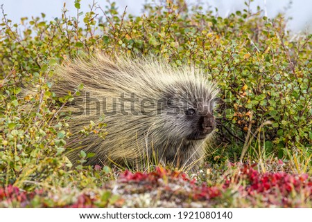 Porcupines lack a strong sense of sight, hearing or smell. This makes them an incredible vulnerable animal. If it were not for their sharp quills they wouldn't stand a chance in Denali National Park.