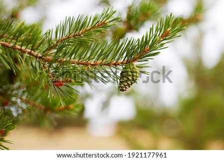 A pine branch with a young green pine cone. Macro photography. Selective focus.  Royalty-Free Stock Photo #1921177961