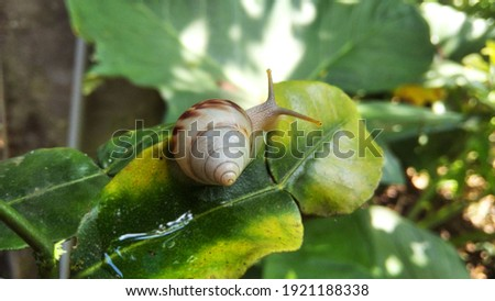White snail on leaf, close up picture.