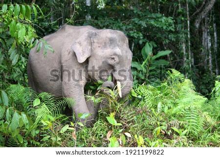 Borneo Pygmy Elephant (Elephas maximus borneensis) in Borneo, Malaysia Royalty-Free Stock Photo #1921199822