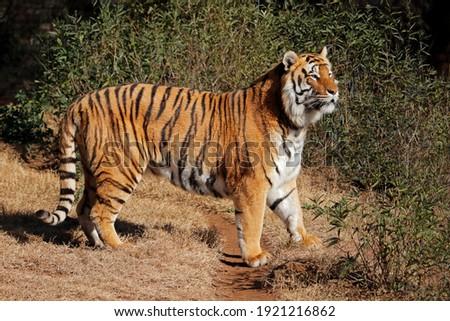 Alert Bengal tiger (Panthera tigris bengalensis) in early morning light Royalty-Free Stock Photo #1921216862