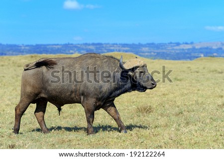 Wild African buffalo bull. Africa, Kenya National Park #192122264