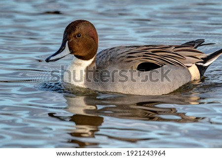 Northern pintail male ducks, Burnaby Lake, British Columbia, Canada Royalty-Free Stock Photo #1921243964