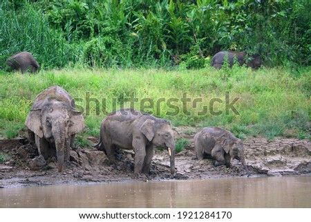 Borneo Pygmy Elephant (Elephas maximus borneensis) in Borneo, Malaysia Royalty-Free Stock Photo #1921284170