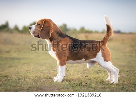 Beagle rack. Beagle breed. Beagle standing. 6 FCI group. Hunting dog