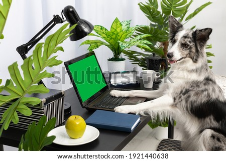 The dog sits in a chair at the desk in front of the computer. The screen is solid green ready to be designed. Intelligent Border Collie Sheepdog. Modern interior design of the apartment.