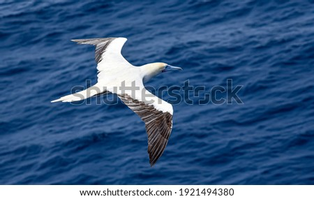 Seabird Masked, Blue-faced Booby (Sula dactylatra) flying over the ocean. Seabird is hunting for flying fish jumping out of the water. Royalty-Free Stock Photo #1921494380