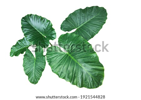 Heart shaped green leaves of Elephant Ear or Giant Taro (Alocasia species), tropical rainforest foliage garden plant isolated on white background with clipping path. Royalty-Free Stock Photo #1921544828