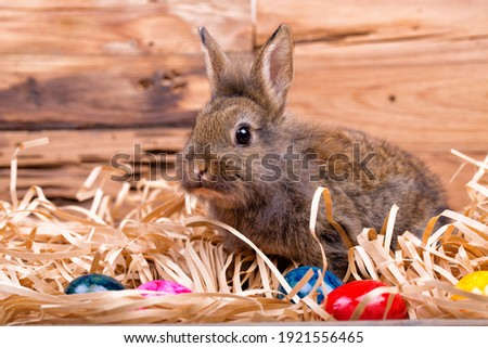 Cute young easter bunny,dwarf rabbit in front of wooden background.
