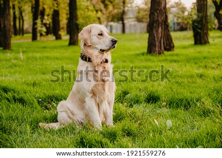 Golden retriever sits in the park on the grass in autumn. Royalty-Free Stock Photo #1921559276