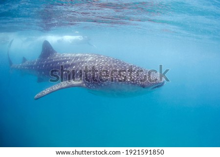 Whale Shark (Rhincodon typus) Swimming Right beneath the Surface. Tofo, Mozambique