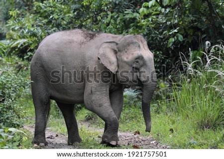 Borneo Pygmy Elephant (Elephas maximus borneensis) in Borneo, Malaysia Royalty-Free Stock Photo #1921757501
