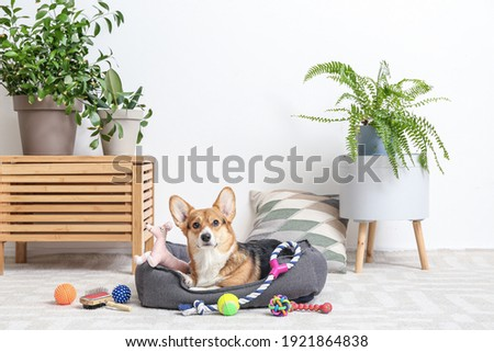 Cute dog with different pet accessories at home Royalty-Free Stock Photo #1921864838