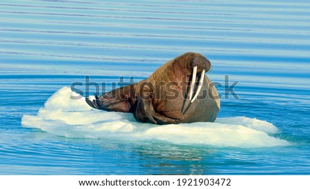 The walrus is a marine mammal, the only modern species of the walrus family, Arctic and Antarctic mammals, Seal animal Royalty-Free Stock Photo #1921903472