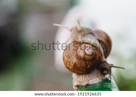 Helix pomatia (Roman snail, Burgundy snail, edible snail, escargot) is a species of large, edible, air-breathing land snail. Gastropods. Two land snails during mating. Fauna of Ukraine Royalty-Free Stock Photo #1921926635