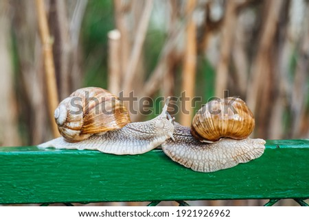 Helix pomatia (Roman snail, Burgundy snail, edible snail, escargot) is a species of large, edible, air-breathing land snail. Gastropods. Two land snails during mating. Fauna of Ukraine Royalty-Free Stock Photo #1921926962