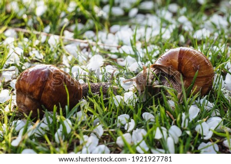 Helix pomatia (Roman snail, Burgundy snail, edible snail, escargot) is a species of large, edible, air-breathing land snail. Gastropods. Two land snails during mating. Fauna of Ukraine Royalty-Free Stock Photo #1921927781