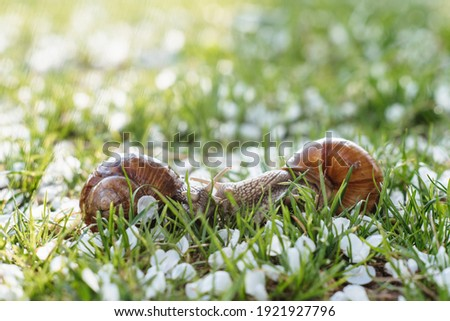 Helix pomatia (Roman snail, Burgundy snail, edible snail, escargot) is a species of large, edible, air-breathing land snail. Gastropods. Two land snails during mating. Fauna of Ukraine Royalty-Free Stock Photo #1921927796