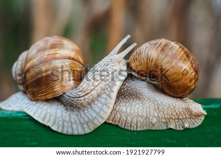 Helix pomatia (Roman snail, Burgundy snail, edible snail, escargot) is a species of large, edible, air-breathing land snail. Gastropods. Two land snails during mating. Fauna of Ukraine Royalty-Free Stock Photo #1921927799