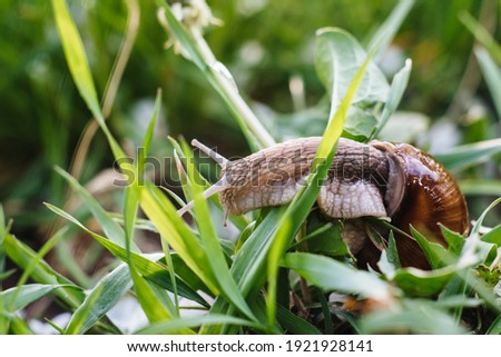 Helix pomatia also Roman snail, Burgundy snail, edible snail or escargot. Snail Muller gliding on the wet leaves. Large white mollusk snails with brown striped shell, crawling on vegetables. Royalty-Free Stock Photo #1921928141