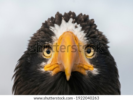The portrait of Steller's sea eagle (Haliaeetus pelagicus). The Steller's Sea Eagle is the heaviest bird of prey in the world Royalty-Free Stock Photo #1922040263