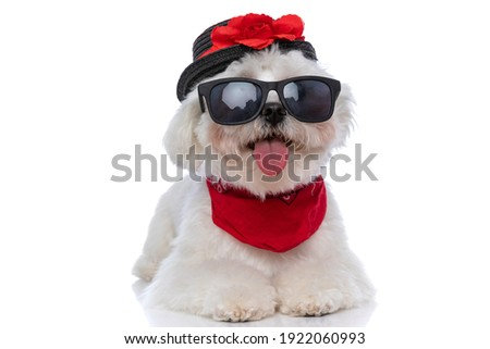 adorable little bichon dog laying down, sticking out tongue and wearing a hat, sunglasses and bandana Royalty-Free Stock Photo #1922060993