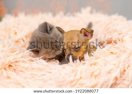 Toy terrier puppy and fluffy kitten sleep in a fluffy blanket Royalty-Free Stock Photo #1922088077