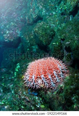 Sea urchins closeup underwater photo spiny, globular animals, echinoderms in the class Echinoidea Royalty-Free Stock Photo #1922149166