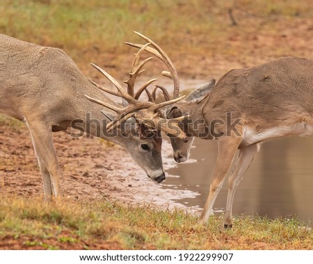 Whitetail Deer Hunting in Fall Royalty-Free Stock Photo #1922299907