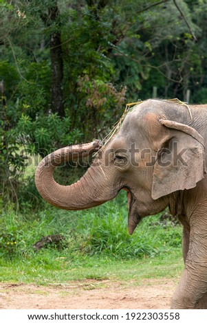 close up of Asia elephant (Elephas maximus) or Asiatic elephant Royalty-Free Stock Photo #1922303558