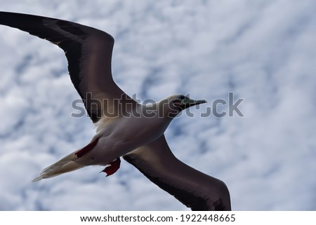 Seabird Masked, Blue-faced Booby (Sula dactylatra) flying over the ocean on the cloudy sky background. Seabird is hunting for flying fish jumping out of the water. Royalty-Free Stock Photo #1922448665