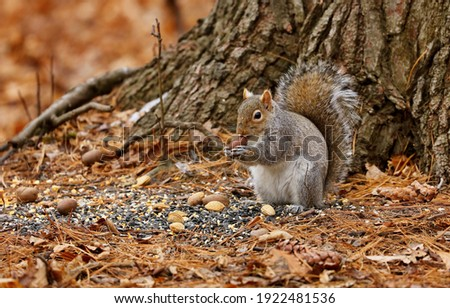 Eastern gray squirrel. Many juvenile squirrels die in the first year of life. Adult squirrels can have a lifespan of 5 to 10 years in the wild. Some can survive 10 to 20 years in captivity. Royalty-Free Stock Photo #1922481536