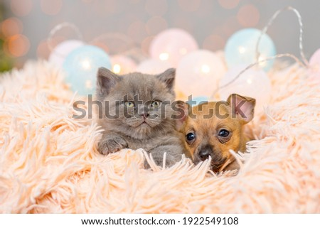 Toy terrier puppy and fluffy kitten sleep in a fluffy blanket Royalty-Free Stock Photo #1922549108