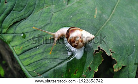 One white snail on leaf, close up picture.