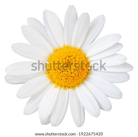 Beautiful white Daisy (Marguerite) isolated on white background, including clipping path.