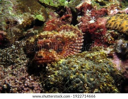 A Bearded scorpionfish camouflaged amongst corals Cebu Philippines