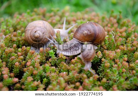Snails in nature, family of snails in spring, macro photography of family snails Royalty-Free Stock Photo #1922774195