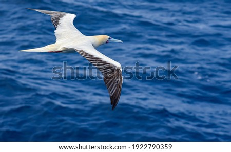 Seabird Masked, Blue-faced Booby (Sula dactylatra) flying over the blue, calm ocean. Seabird is hunting for flying fish jumping out of the water. Royalty-Free Stock Photo #1922790359