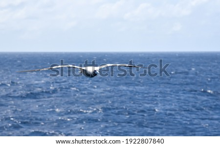 Seabird Masked, Blue-faced Booby (Sula dactylatra) flying over the blue, calm ocean. Seabird is hunting for flying fish jumping out of the water. Royalty-Free Stock Photo #1922807840