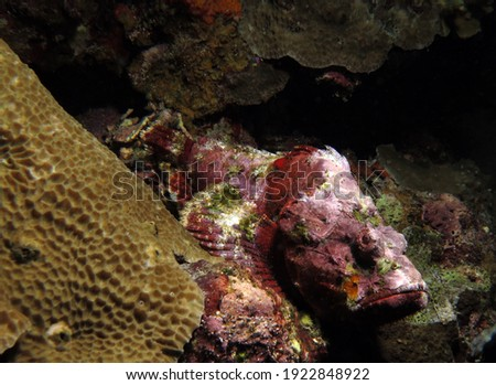 Devil Scorpionfish camouflaged amongst corals Pescador Island Philippines
